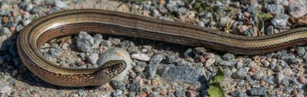 En orm fastnade också på bild